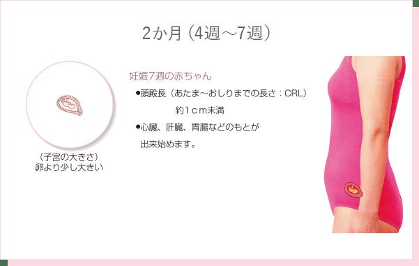 妊娠2か月(4週~7週)の特徴