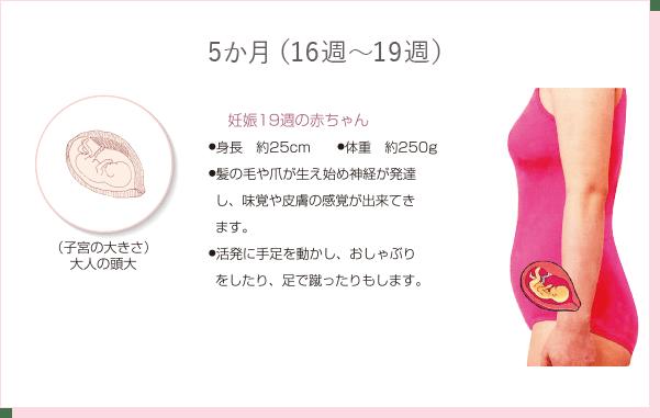 妊娠5か月(16週~19週)の特徴